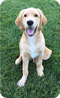 Temecula, CA - Golden Retriever. Meet Buster, a dog for adoption. http://www.adoptapet.com/pet/17793877-temecula-california-golden-retriever