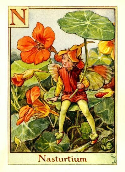 """M ~Nasturtium Fairy ~ Nasturtium, (literally """"nose-twister"""" or """"nose-tweaker""""), is edible. The flower has most often been consumed, making for an especially ornamental salad ingredient; it has a slightly peppery taste, and is also used in stir fry. The mashua (T. tuberosum) produces an edible underground tuber that is a major food source in parts of the Andes.  #fairy #fairies: Flowers Fairies, Nasturtium Fairies, Flowers Children, Flowerfairi, Art, Alphabet, Flower Fairies, Cicely Mary Barker, Nasturtium Flowers"""