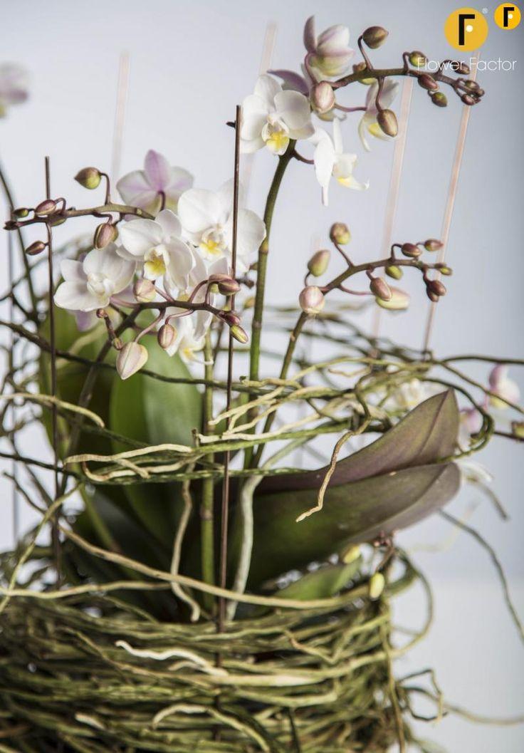 Creatie Opti-Flor #flowerfactor #tweetjam #kunst #flower #plant #beautiful #Florist #Phalaenopsis #Orchids #Creative #Original
