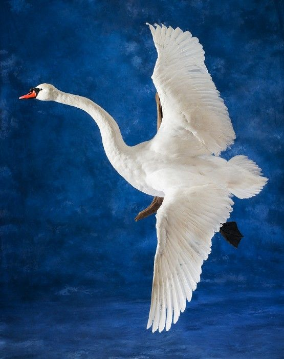 первую картинки летающего лебедя чили заняла