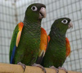 Fiery Shouldered Conures