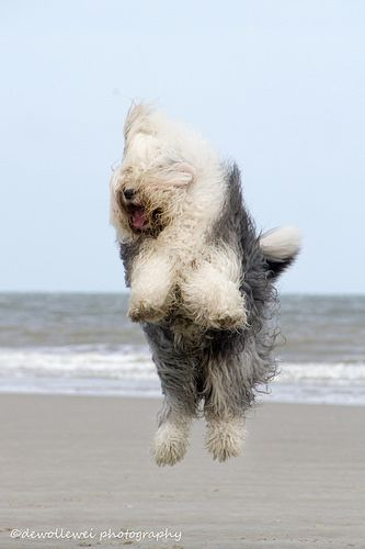 """Bobtails/OES/English Sheepdogs ; ) – such fluffy energy ; )  """"jumping Jane"""" at sea (photo by dewollewei/Cees 2014-05-07 via flickr 22858517)"""
