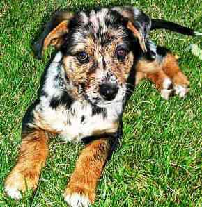AKC Dog Breeds: Louisiana Catahoula Leopard Dog. I really want one! or an Australian cattle dog! theyre so freaking CUTE!