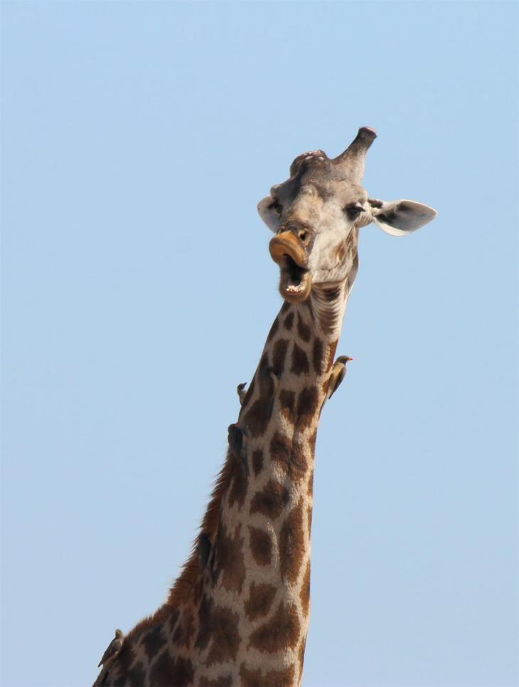 Жираф в картинках приколы, про море отдых