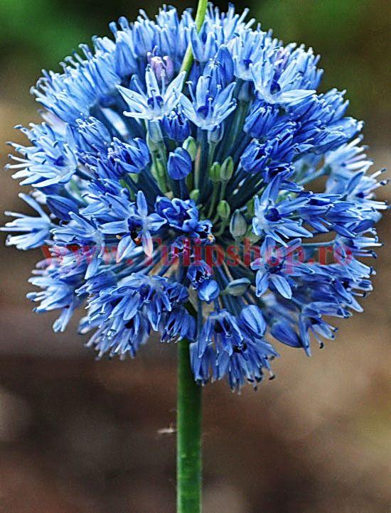 Bulbi Allium Caeruleum (Ceapa decorativa)