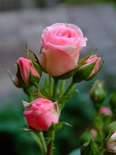rosa                                                       …