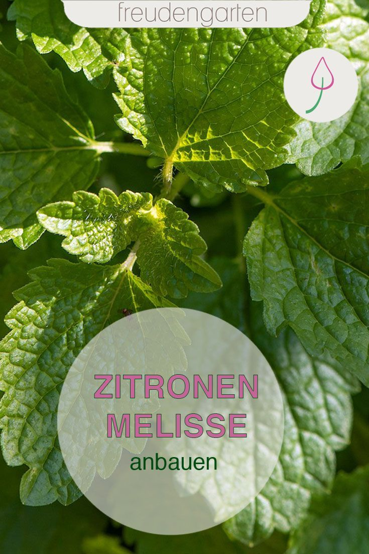 Zitronenmelisse Saen Pflanzen Pflegen Ernten In 2020 Zitronenmelisse Heilpflanzen Pflanzen
