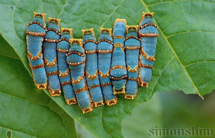 The Caterpillar Brotherhood. Malaysia. Photo by Simon Shim