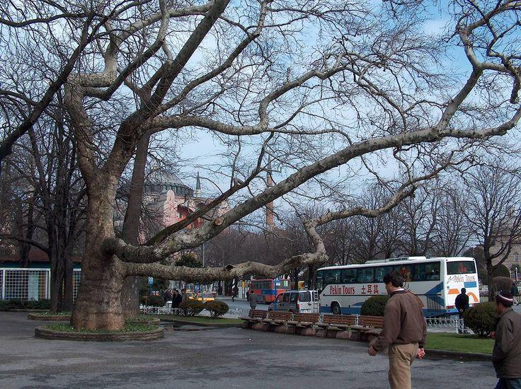 """1656'daki """"Çınar Vak'ası-Vak'a-i Vakvakiyye""""nın geçtiği, Sultanahmed'teki ünlü çınar ağacı. Belediyece kolları budanmadan önce.15 Mart 2005. Foto: Mustafa Meraklı. Kaynak: Müfid Yüksel."""