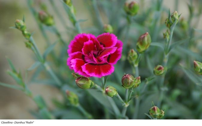Clavellina dianthus rodin plantas de temporada for Vivero los penotes