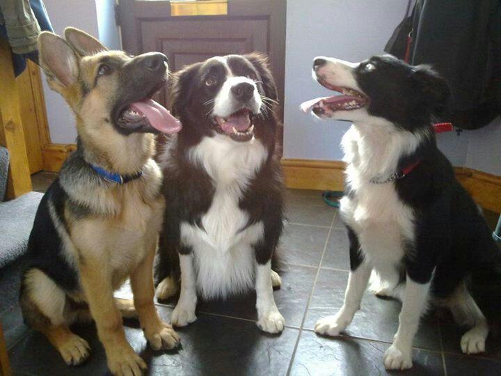 The three amigos! German Shepherd pup & Border Collies