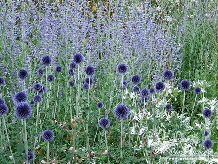 Great Echinops ritro uVeitch us Blue u v hlavn roli se sv mi architektonick mi kulat mi kv tenstv mi Oponu