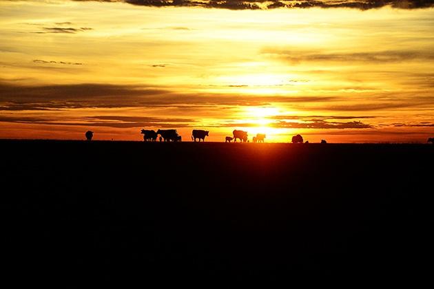Working Calves by Ree Drummond / The Pioneer Woman, via Flickr