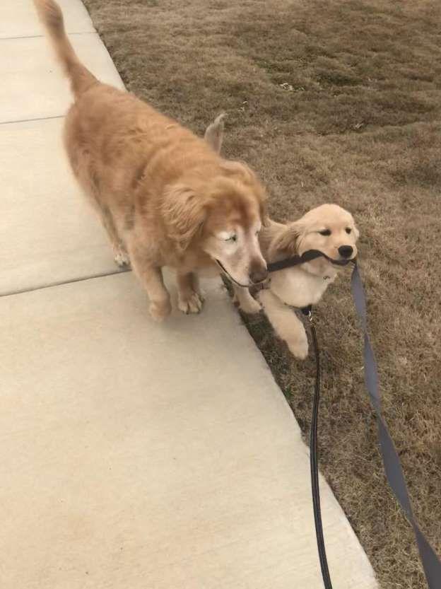Blind Senior Dog Finds A Puppy Friend To Show Him The Way Puppy