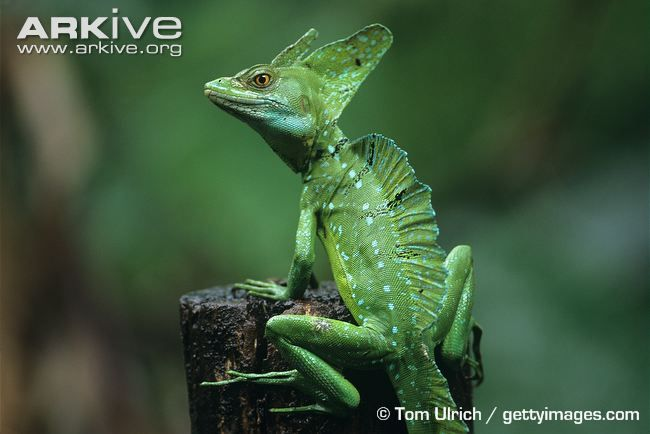 Plumed basilisk (Basiliscus plumifrons)  Basilisk lizards are a number of different lizards in the Basiliscus genus sometimes called 'Jesus lizards' for their ability to run across water to escape predators or to grab unsuspecting small prey.