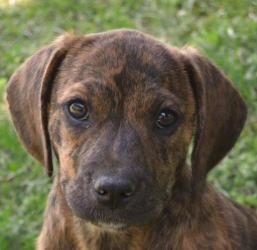 Ranger is an adoptable Plott Hound Dog in Yardley, PA. My name is Ranger and I am an adorable 10 - 12 male Plott Hound� mix. I am a very playful, happy boy who loves people. I love to be held and� snu...