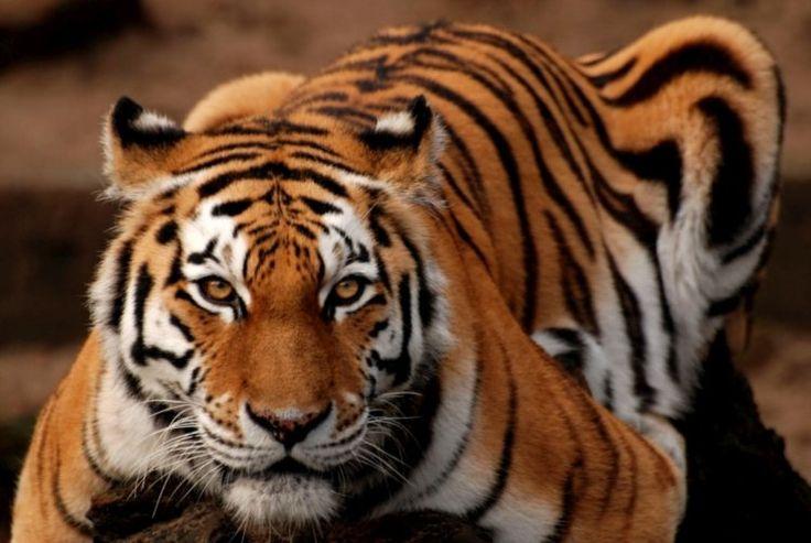 Tigre é um assassino nato, mostra primeiro estudo a descodificar genoma | Genoma do tigre mostra sobre-representação dos genes relacionados com a força muscular, a utilização da energia e a transmissão sensorial. Estudo publicado na revista Nature Communications.