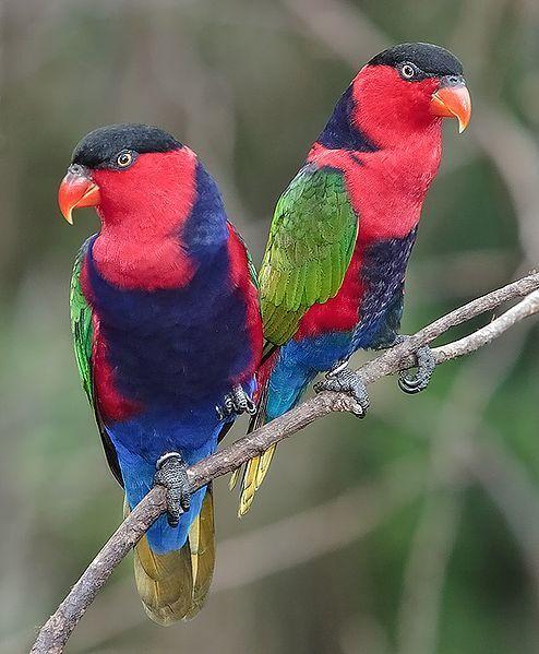 parakeets   Popular and Rare Lories and Lorikeets as Pets