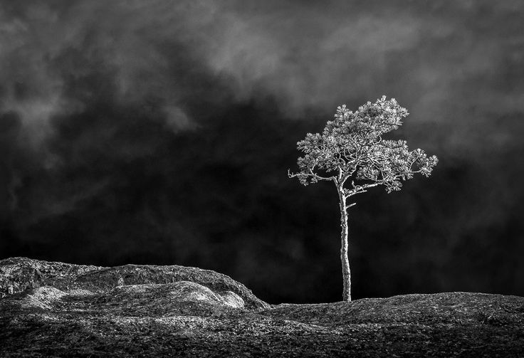 A lone pine tree at Repovesi National Park