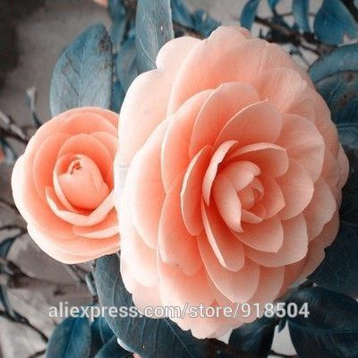 50 pieces/bag, Camellia seeds, Camellia flowers seeds 24 kinds or colors to choose from