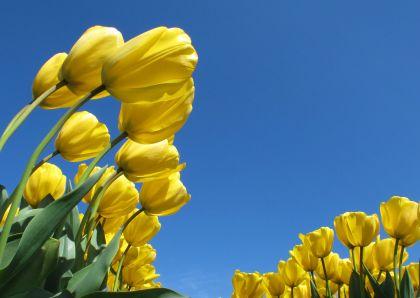 Bloemenkaart Gele tulpen blauwe lucht - Bloemenkaarten - Kaartje2go