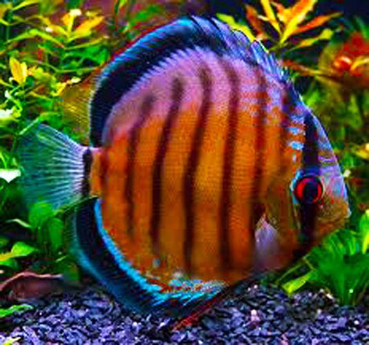 1000 ideas about discus aquarium on pinterest discus