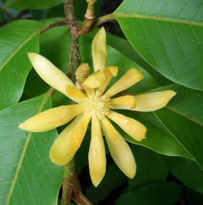 Michelia champaca. The flower will perfume your whole garden!