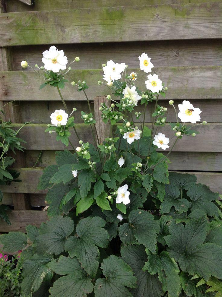 Witte anemoon, overgehouden van vorig jaar.