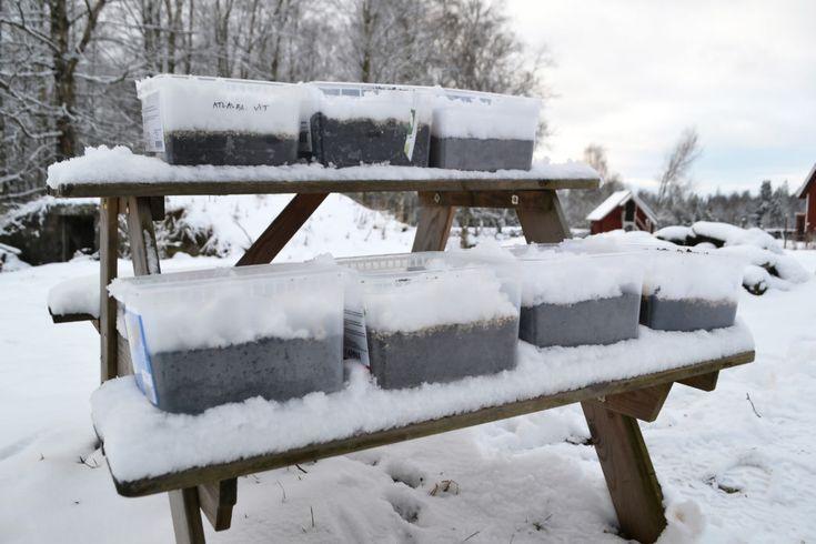 Plastbackar fyllda med jord och snö står uppradade på ett utebord i ett snöigt landskap med röda stugor i bakgrunden.