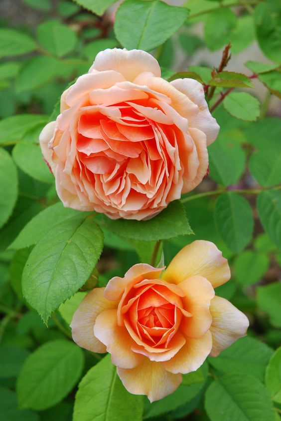 'Grace' | David Austin English Rose. Austin' 2001.