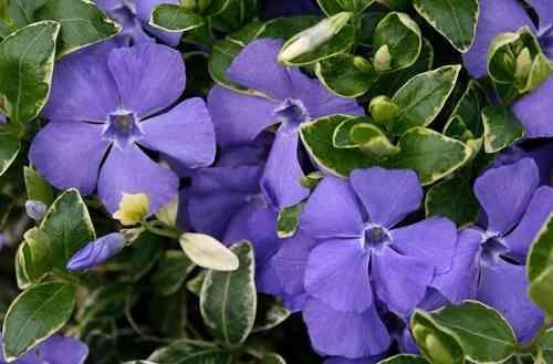 vinca minor variegata