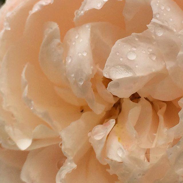今日もたくさんのありがとう 明日たくさんの人に 良いことある1日でありますように おやすみなさいー  #花 #flowers #もと #もとl #薔薇 #おやすみなさい fukudamotoko 2016/08/24 01:36:40