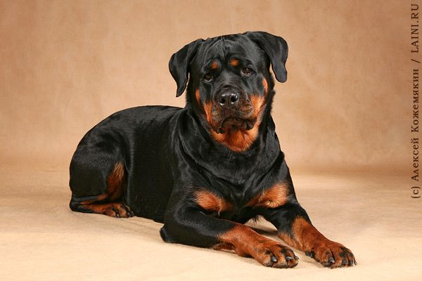 Dog Rottweiler Training 111 best images about ...