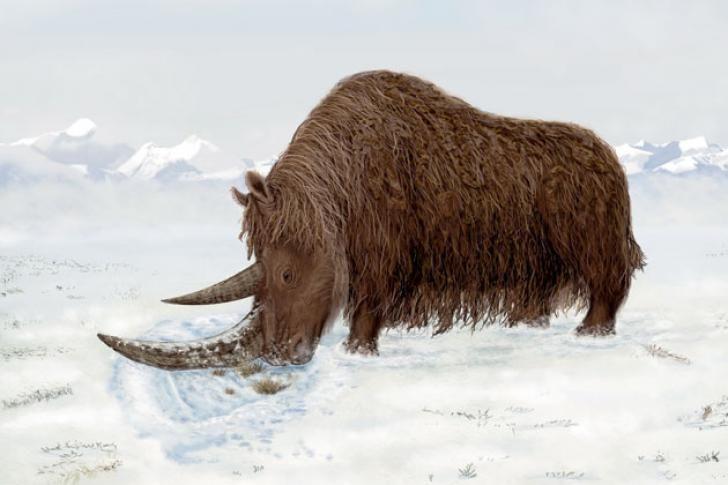 ullhårig noshörning - Sök på Google