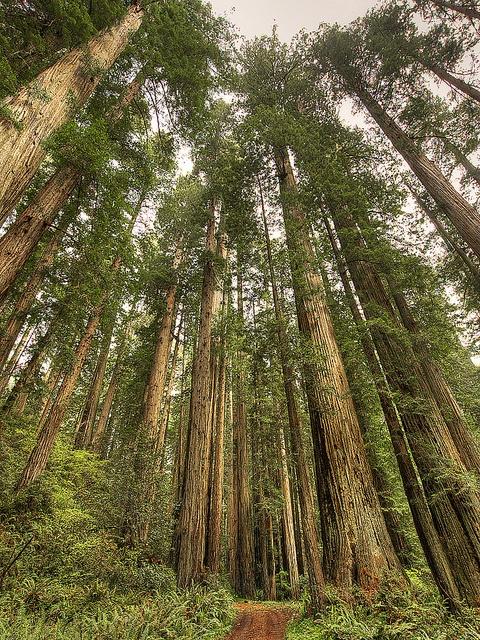 Coast Redwood (Sequoia sempervirens) California