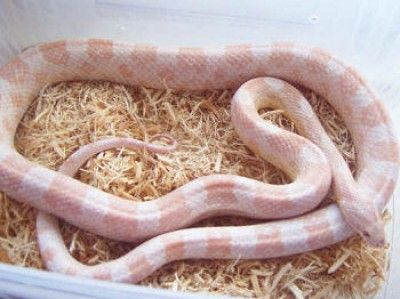 Strawberry Snow Corn Snake Adult