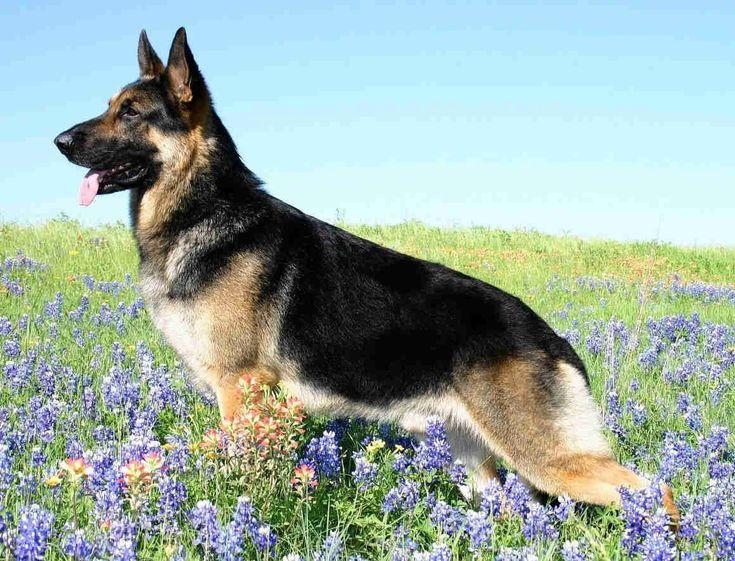 German Shepherd Dog Guide – Learn About the German Shepherd Dog