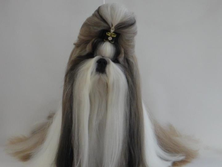 Ok Not A Yorkie But Gorgeous Glad Yorkies Aren T As Hard To Groom As A Shih Tzu This Shih Tzu Has Shih Tzu Long Hair Shih Tzu Grooming Dog Grooming Styles