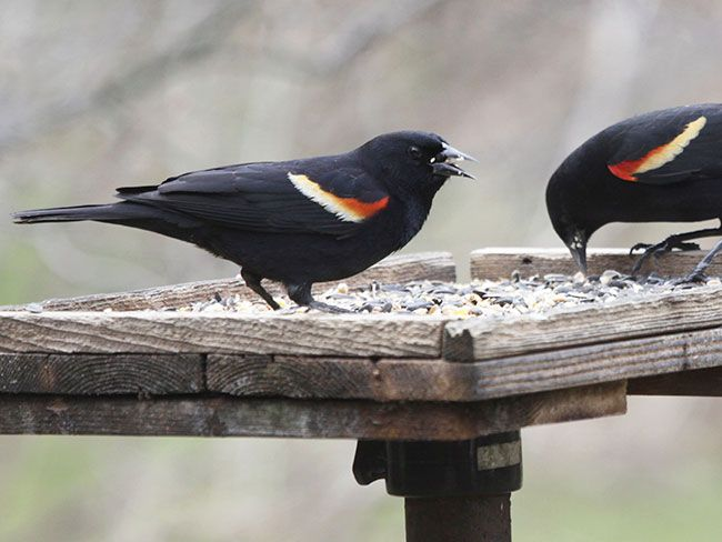This simple bird feeder makes an ample platform for serving a flock of seed eaters.