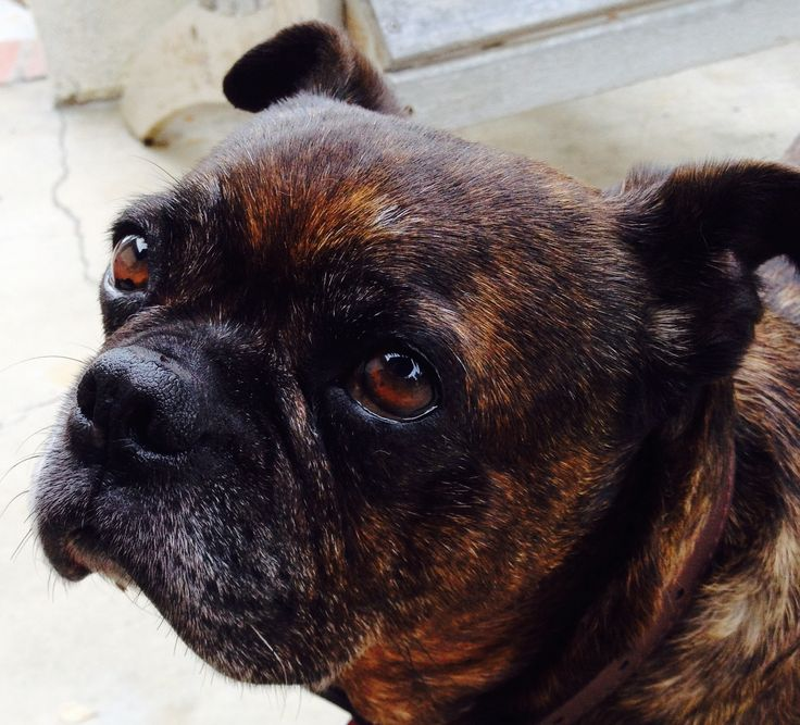 Bosley the Bugg, brindle Pug and Boston Terrier mix, we think. He's adopted as an old gent.