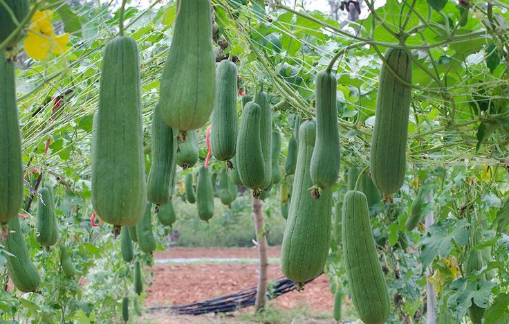 Loofah sponges are made from luffa gourds. Here's how to grow and make your own loofah sponge.