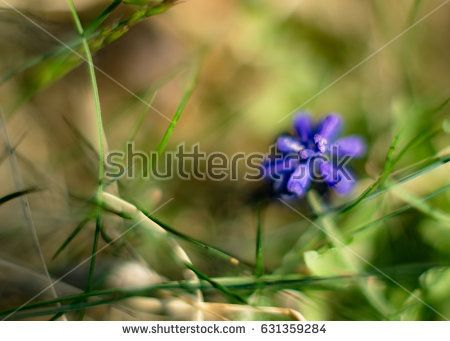 Muscari neglectum flower in the dense grass. Soft look. Blurry Background
