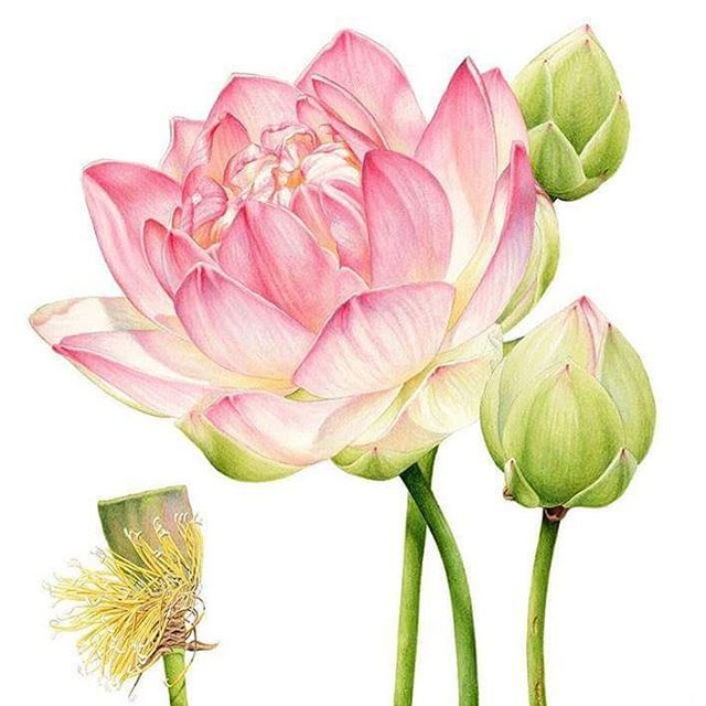Heidi Willis @heidiwillisart #lotus #botanical...Instagram photo | Websta (Webstagram)