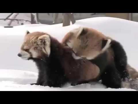 Red Panda parto y el apareamiento Romance