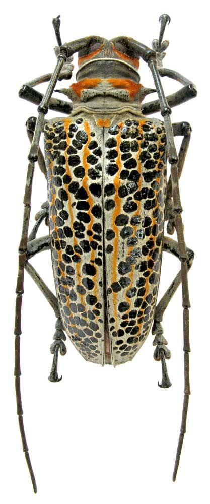Rosenbergia straussii (Gestro, 1876) (Cerambycidae)   zin.ru