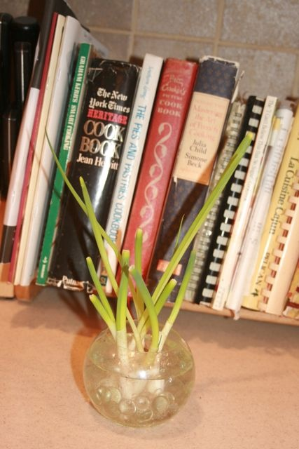 Growing shallots in a bowl of water.  I want to start growing fresh herbs...
