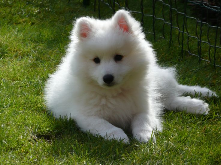 Japanese Spitz on the grass photo and wallpaper. Beautiful ...