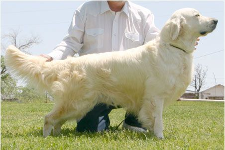 English Cream Golden Retrievers | Golden Retriever - English Cream | To view Golden Retriever - English ...