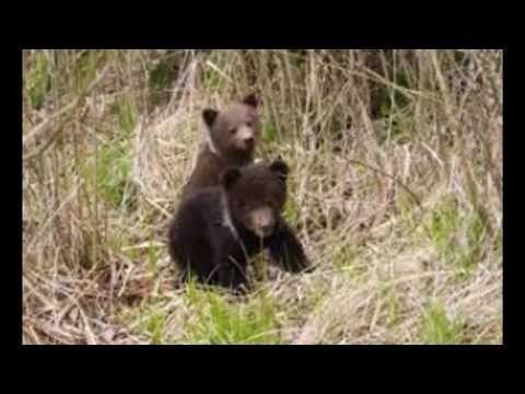 ursi in brasov