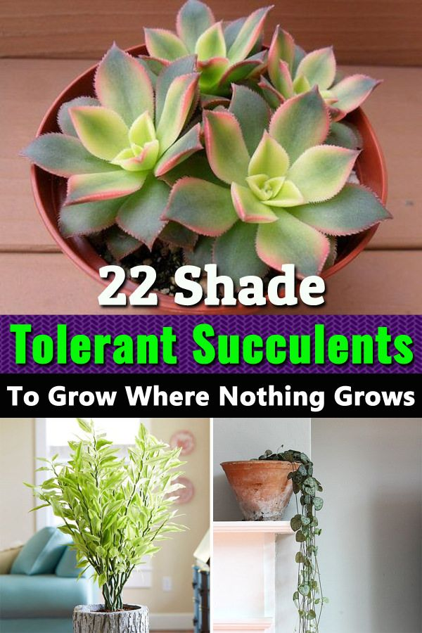 22 Shade Tolerant Succulents To Grow Where Nothing Grows